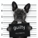 "black bulldog holding a ""guilty"" sign in a ""mug shot"""